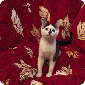 Domestic Shorthair Kitten for adoption in Colmar, Pennsylvania - Gilligan