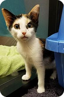 Calico Kitten for adoption in Benbrook, Texas - Fancy