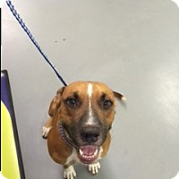 Catahoula Leopard Dog/Black Mouth Cur Mix Dog for adoption in Seattle, Washington - A - GUS