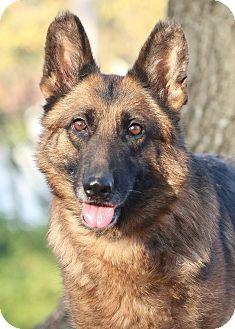 German Shepherd Dog Dog for adoption in Nashville, Tennessee - Kiddeau