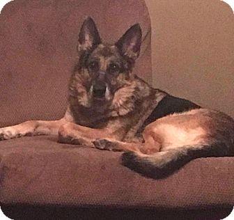 German Shepherd Dog Mix Dog for adoption in Nashua, New Hampshire - Champ (Cat Friendly)