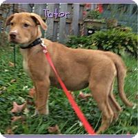 Adopt A Pet :: Tator - Elburn, IL