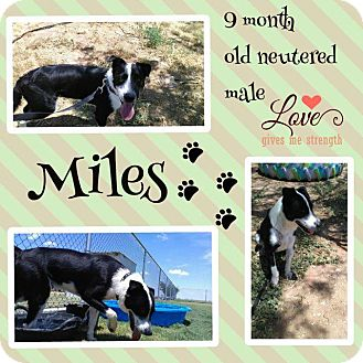Border Collie Mix Dog for adoption in Big Spring, Texas - Miles