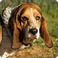 Adopt A Pet :: Bobby - Whittier, CA