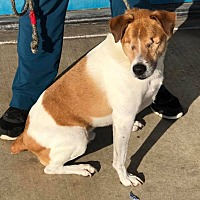 Jack Russell Terrier Mix Dog for adoption in Austin, Texas - Buddy in Tulsa, OK