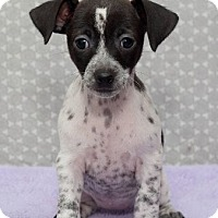 Adopt A Pet :: Bagel Bradford - Hillside, IL