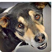Adopt A Pet :: Big Guy - Chandler, AZ