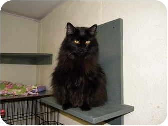 Domestic Mediumhair Cat for adoption in Bartlett, Illinois - Shadow
