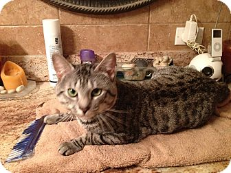 Bengal Cat for adoption in Fort Lauderdale, Florida - Stirling