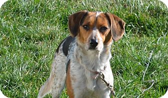 Beagle/Bluetick Coonhound Mix Dog for adoption in New Manchester, West Virginia - Snoopy