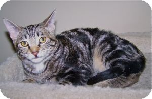 Domestic Shorthair Kitten for adoption in Colorado Springs, Colorado - K-Sophie3-Tasmania