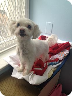 Maltese Dog for adoption in New York, New York - Daisy