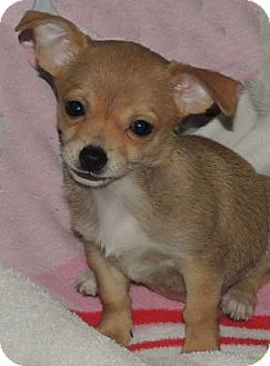 Chihuahua/Dachshund Mix Puppy for adoption in La Habra Heights, California - Teeny Tiny Rachel