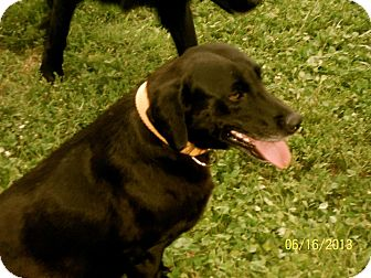 Labrador Retriever Mix Dog for adoption in Manchester, New Hampshire - Trixie
