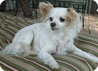 Chihuahua Dog for adoption in Mooy, Alabama - Buffy