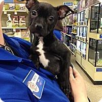 Adopt A Pet :: Onxy - Rockaway, NJ
