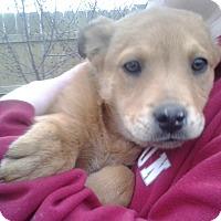 Adopt A Pet :: Ginger - Kirkland, WA