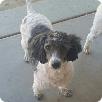 Adopt A Pet :: Shadow - Tucson, AZ