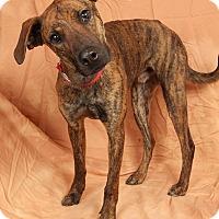 Adopt A Pet :: Cooper WeimerPlott Hound - St. Louis, MO