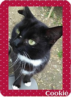 Domestic Shorthair Cat for adoption in Fort Worth, Texas - Cookie