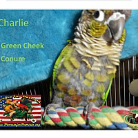 Adopt A Pet :: Charlie The Green Cheek Conure - Vancouver, WA
