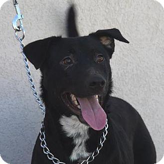 Labrador Retriever Mix Dog for adoption in Las Cruces, New Mexico - Avery