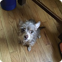 Chihuahua/Yorkie, Yorkshire Terrier Mix Dog for adoption in Berkley, Michigan - Annie