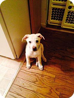 Labrador Retriever Mix Puppy for adoption in Grafton, Wisconsin - Si - PENDING