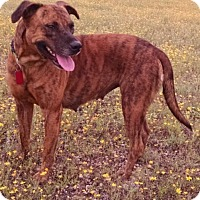 American Staffordshire Terrier/Boxer Mix Dog for adoption in Fischer, Texas - Mary