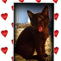 Adopt A Pet :: Phoebe - Mansfield, TX