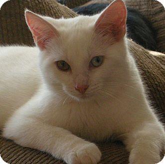 Turkish Angora Kitten for adoption in Germantown, Maryland - Marco