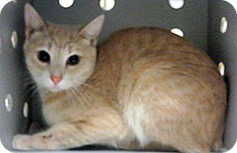 Domestic Shorthair Kitten for adoption in Wildomar, California - Tigress