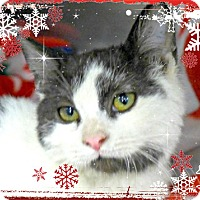 Domestic Shorthair Cat for adoption in Spring Brook, New York - Moo