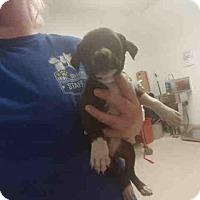 Adopt A Pet :: *SHANIA - Bakersfield, CA