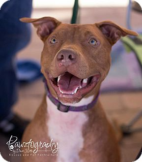 Pointer/American Staffordshire Terrier Mix Dog for adoption in Scottsdale, Arizona - TUCKER