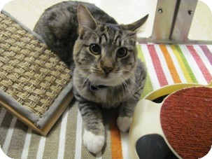 Domestic Shorthair Kitten for adoption in Diamond Bar, California - BUTTONS