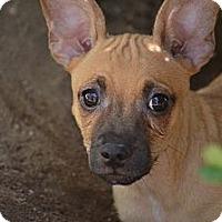 Adopt A Pet :: Wilfred - Fresno, CA