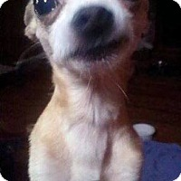 Chihuahua Dog for adoption in Audubon, New Jersey - Chip