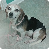 Adopt A Pet :: ALICE - Paron, AR