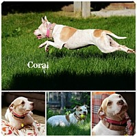 Pit Bull Terrier Dog for adoption in Sioux Falls, South Dakota - Coral