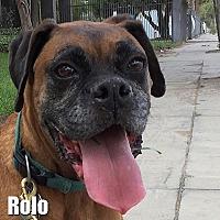 Adopt A Pet :: Rolo - Encino, CA