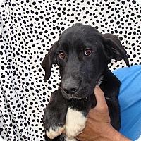 Adopt A Pet :: Zaire - Oviedo, FL