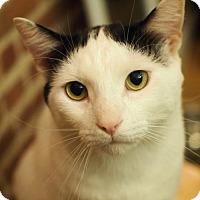 Adopt A Pet :: Lap Cat Obi: Wonderful Chill Cuddler! - Brooklyn, NY