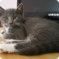 Domestic Shorthair Kitten for adoption in Philadelphia, Pennsylvania - Daisy