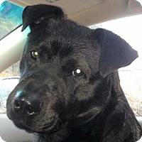 Labrador Retriever/Chow Chow Mix Dog for adoption in Bruce Township, Michigan - Dodger