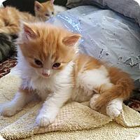 Adopt A Pet :: Shamir - Mississauga, Ontario, ON