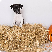 Rat Terrier/Pug Mix Puppy for adoption in Riverside, California - Chip