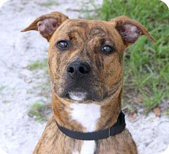 Hound (Unknown Type)/Boxer Mix Puppy for adoption in Loxahatchee, Florida - Dude