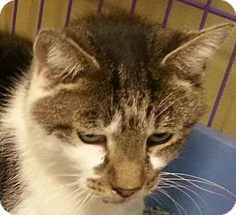Domestic Shorthair Cat for adoption in Lexington, Kentucky - Fluffy