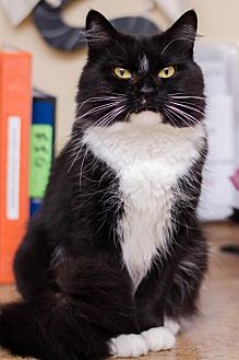 Domestic Mediumhair Cat for adoption in Ashland, Massachusetts - Cookie (6)